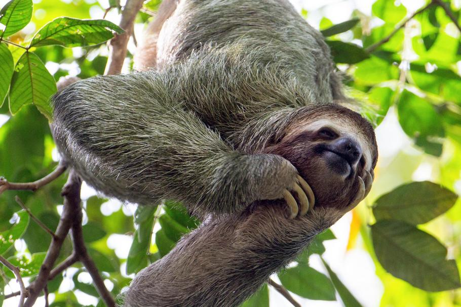 smiling sloth hanging in a tree