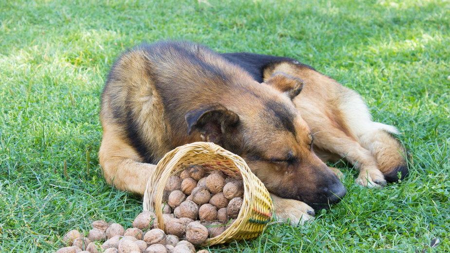 Niektóre rodzaje orzechów mogą być toksyczne dla psa -  retbool/stock.adobe.com