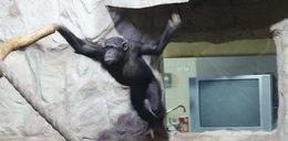 Po co małpie telewizor?