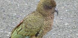 Po raz pierwszy w zoo urodziła się papuga kea