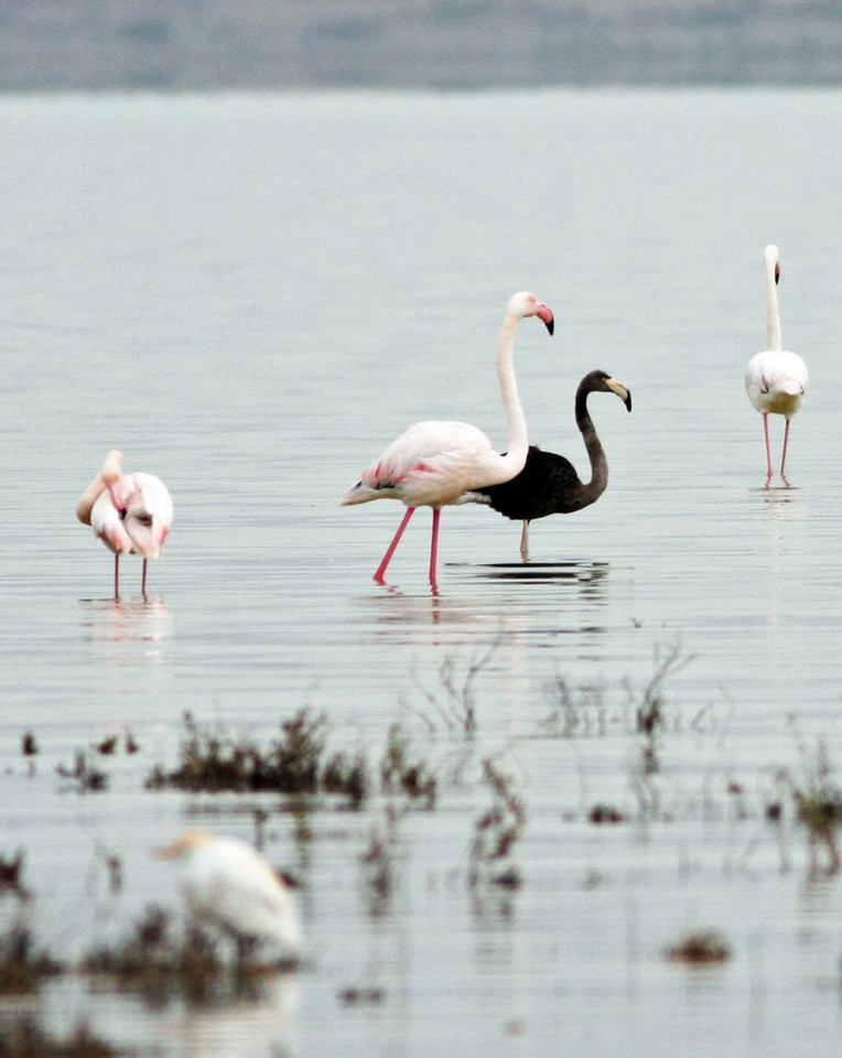 CYPRUS ANIMALS BLACK FLAMINGO (Rare black flamingo spotted on Cyprus)