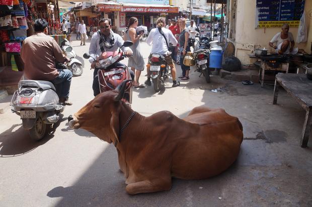 Święta krowa na ulicach Pushkaru, Radżastan