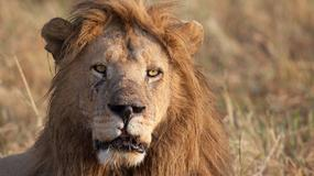 Pozowali do zdjęcia z zabitym lwem. Karma wróciła do nich bardzo szybko