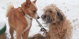 Te psy uciekły z budy na jednej smyczy