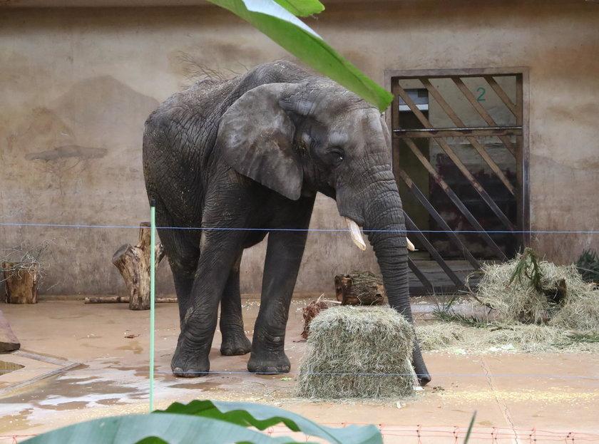 Wielka feta w zoo! Słoń Leon skończył 18 lat!