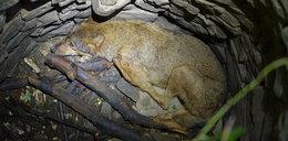 Wilk wpadł do studni. Tak go uratowali
