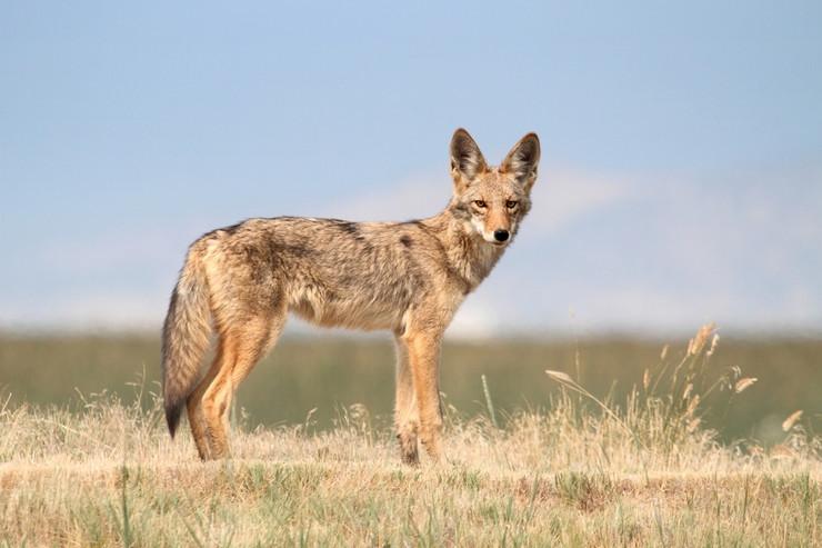 kojot pokrivalica