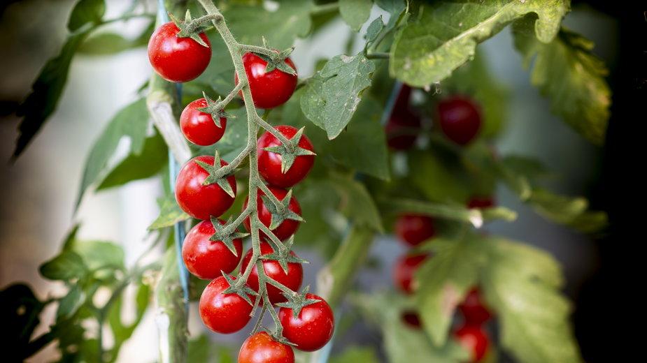 Pomidory można uprawiać w donicach na balkonie - Vesna/stock.adobe.com