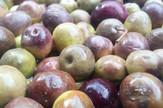 Od kiše zavisi i plod masline