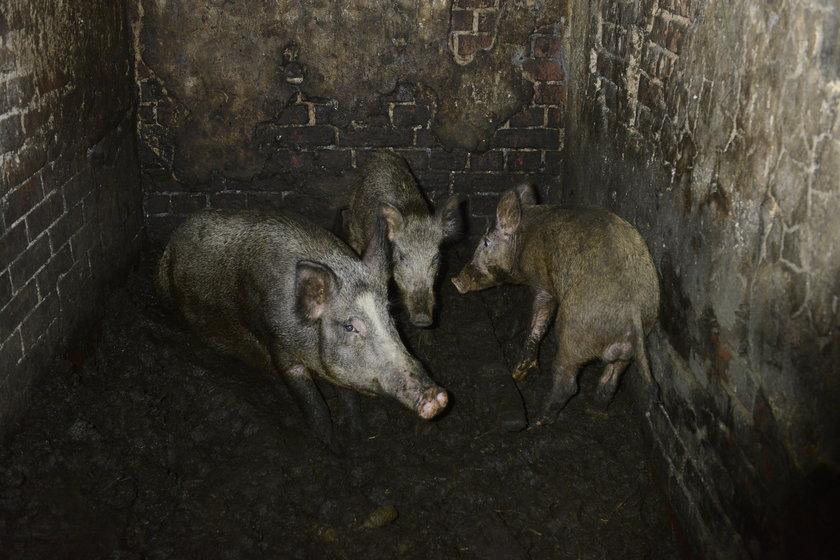Świniodziki w zagrodzie