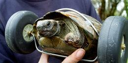 Ten żółw to inwalida. Porusza się na kółkach!