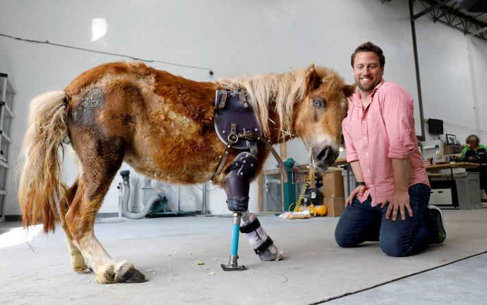 Derrick Campana kneels beside a mini horse wearing a prosthetic leg in Sterling, Virginia