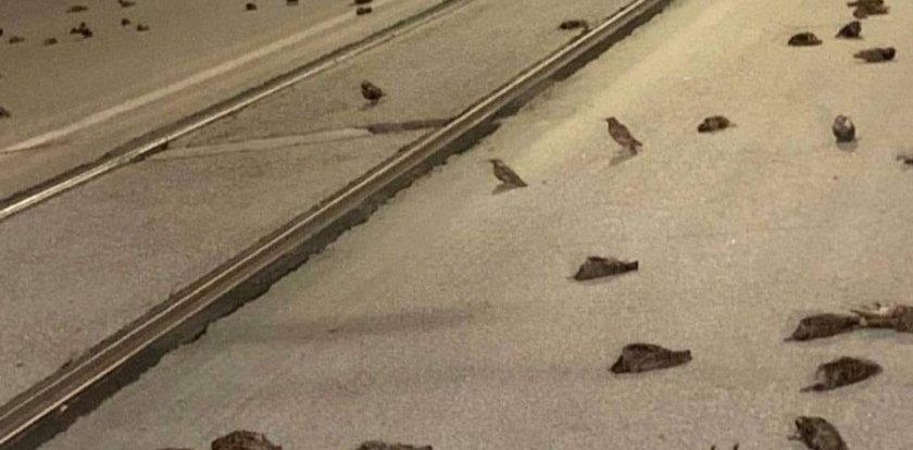 Setki martwych ptaków. Winne fajerwerki?