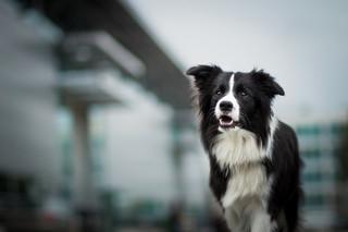 PiS złożyło kilka poprawek do noweli ustawy o ochronie zwierząt