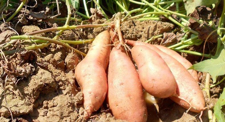 ___8420439___2018___5___25___12___sweet-potato-farming-in-kenya