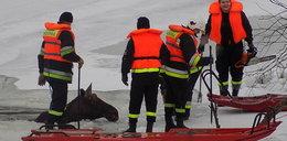 Ludzie ratowali łosie spod lodu. Doszło do dramatu