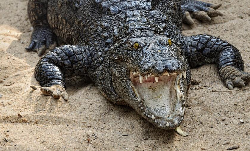 Krokodyl, zdjęcie ilustracyjne.