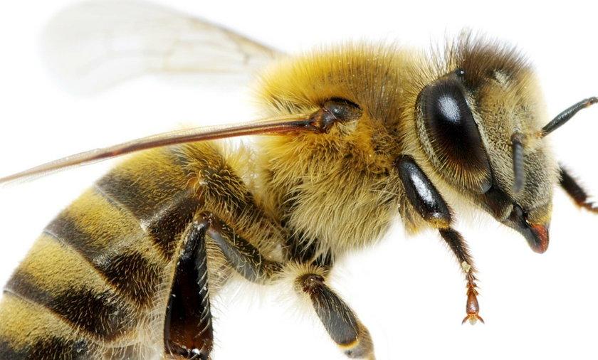Dostanie odszkodowanie za atak pszczoły