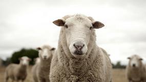 W Karkonoskim Parku Narodowym będą wypasane owce