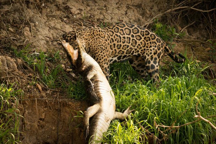 jaguar kajman aligator