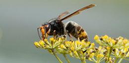 Groźne szerszenie przyleciały z Azji i sieją postrach! Nie żyje 54-letni pszczelarz