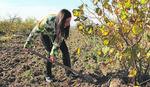IZ KANCELARIJE NA PLANTAŽU Ovi poljoprivredni poslovi mogu biti samo dodatni, a donose EKSTRA ZARADU