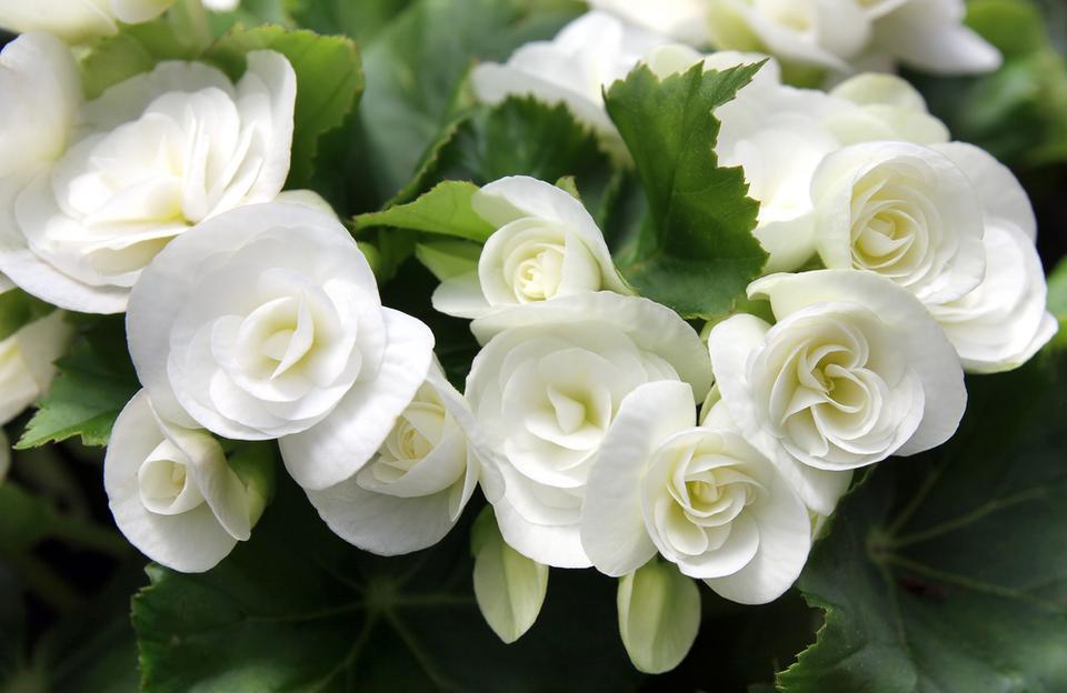 4. Begonia