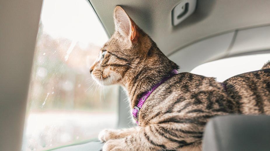 Podróż z kotem powinna być dobrze zorganizowana - stivog/stock.adobe.com