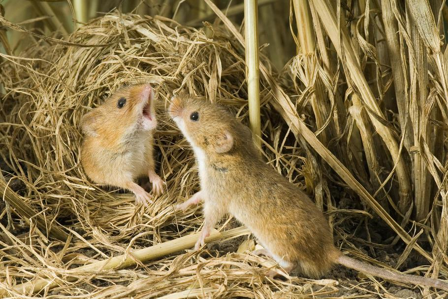 HARVEST MOUSE (OLD WORLD)