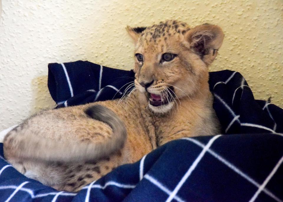 Trzymiesięczna lwica z Poznania