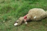 NOVIPAZAR02 zaklana ovca Milana Kulundzzicha foto N. Koccovich