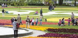 Tulipanowe dywany pod Operą