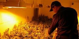 Uprawiali marihuanę w stodole