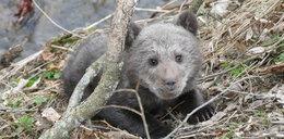 Los tego niedźwiadka porusza. Cudem go uratowali