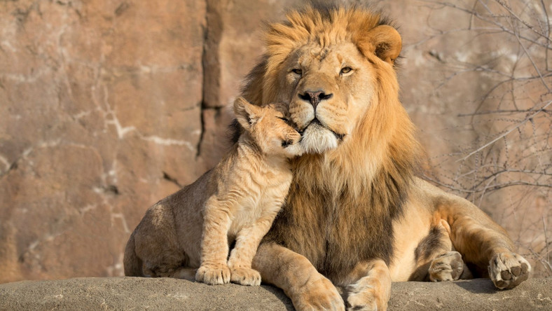 Lew z lwiątkami