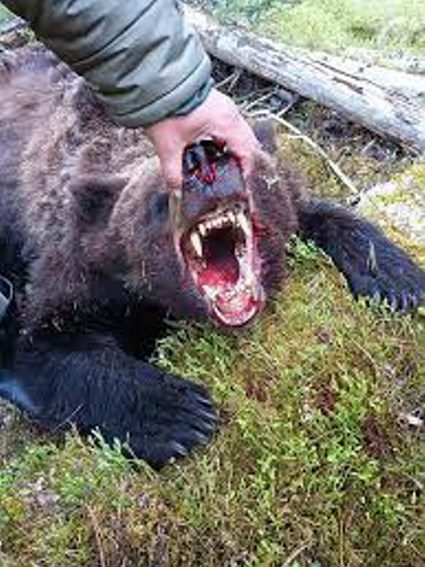 Horror w parku narodowym. 16-latek został rozszarpany przez niedźwiedzia