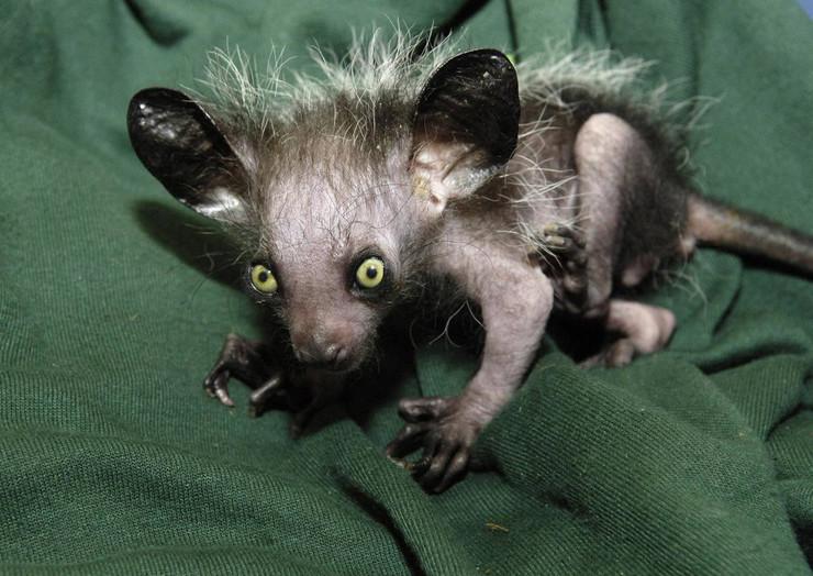 227627_lemur-foto01-ap-bristol-zoo-gardens