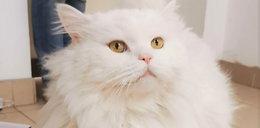 Kot na gigancie. Jego właściciele odnaleźli się 300 km od Poznania