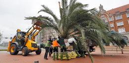 Palmy wróciły na rynek w Katowicach