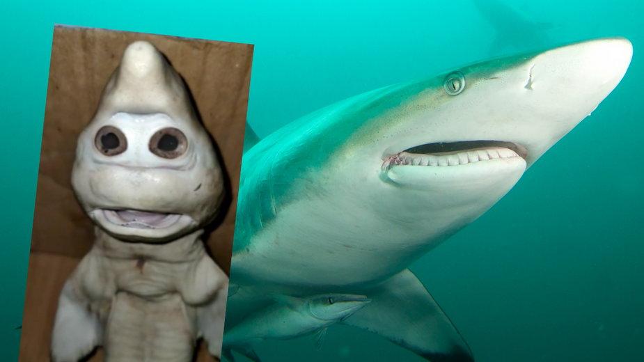 """W Indonezji odkryto przerażającego rekina """"z ludzką twarzą"""""""