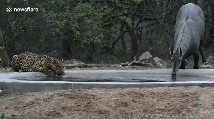 Leopard i azijska antilopa