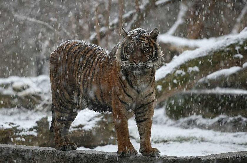 Warszawa, zoo, tygrys, śnieg