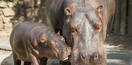 Hipopotamy są wegetarianami!