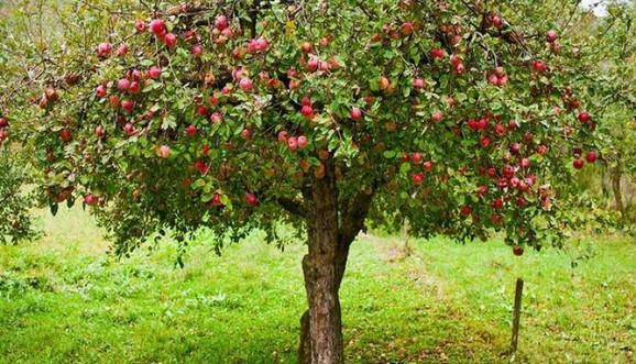 Jabuke koje uvozimo prskaju se do 24 puta, ali to ne znači i da je najopasnije voće