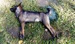 Nekoliko pasa otrovano u Zemunu