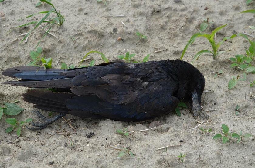 Wielowieś: 30 ptaków gatunków chronionych otrutych