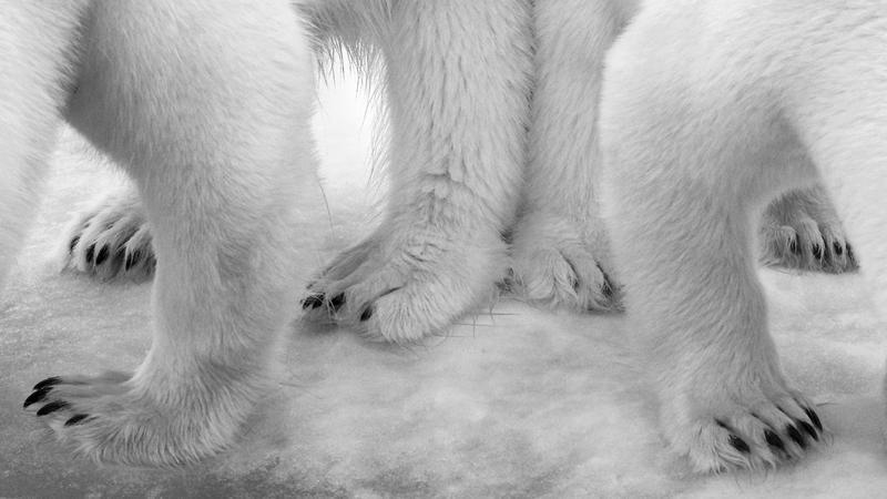 Polar pas de deux © Eilo Elvinger - Wildlife Photographer of the Year 2017