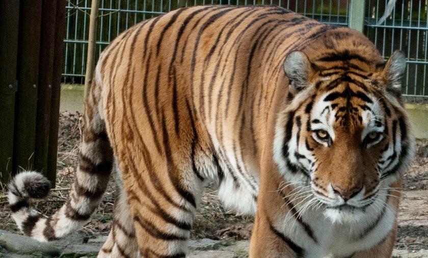 10 tygrysów utknęło na granicy polsko-białoruskiej. Są wycieńczone
