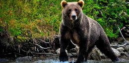 Niedźwiedzie grasują w Tatrach. Jest tak źle, że władze rozważają stan wyjątkowy!