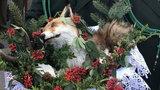 Martwy lis w koszyku na pielgrzymce. To normalne?